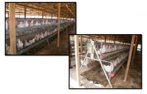 Breeder Cages- Male Broiler